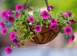 Ампельные растения для кашпо – это декоративные растения, обладающие гибкими побегами