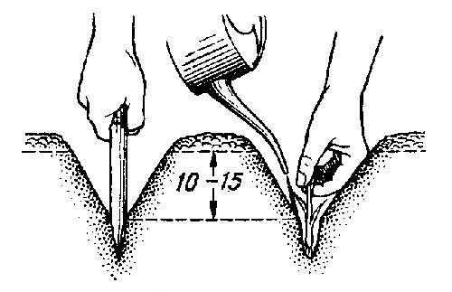 Высаживать мелкий севок целесообразно на глубну 10-15 см