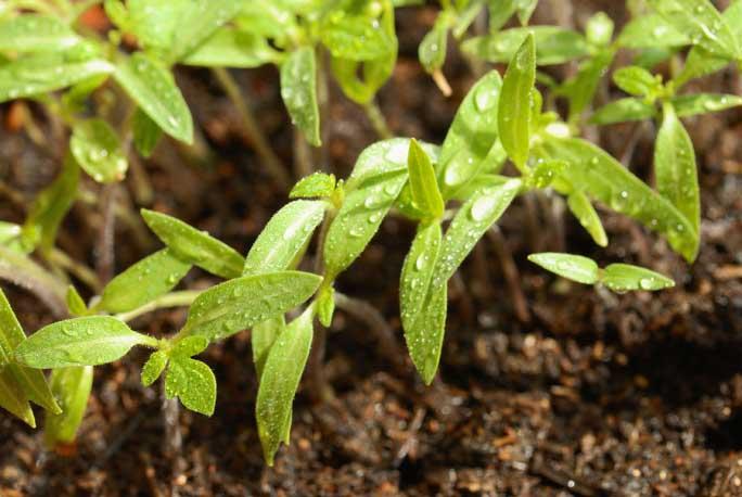 Поливы должны полностью удовлетворять потребность развивающейся рассады томатов в воде