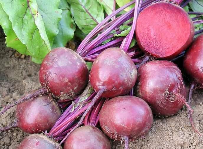 Свёкла столовая относится к категории очень популярных овощных культур в нашей стране