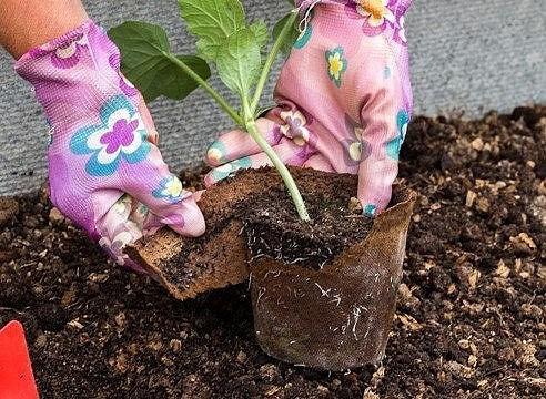 Подготовленная рассада арбуза должна высаживаться на тепличные гряды только после того, как температура почвы составить 14-15˚С и выше