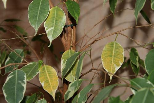 Резкое колебание температур и уменьшение освещенности в помещении очень часто заставляет фикус избавляться от листвы