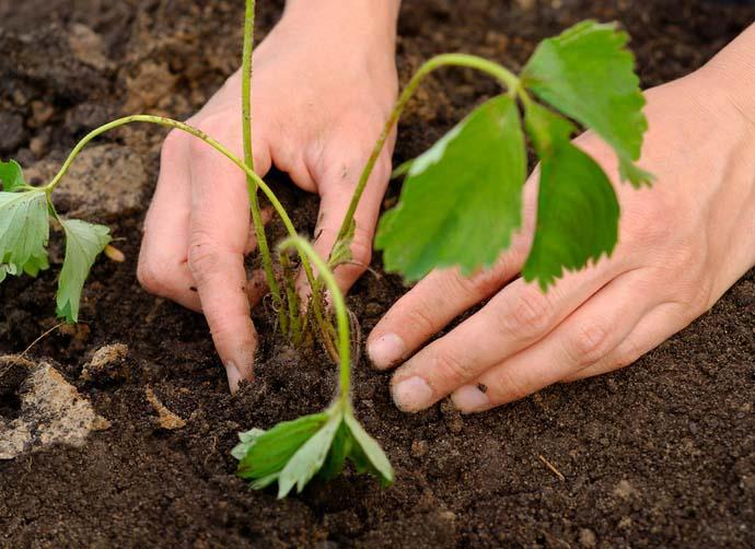 Очень важно контролировать глубину посадки земляничной рассады, располагая верхушечную почку растения на одном уровне с почвой