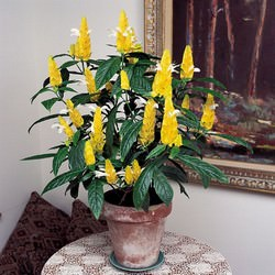 Пахистахис желтый является достаточно популярным растением