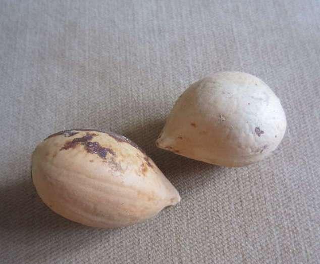 Размножение цикаса можно осуществлять семенами