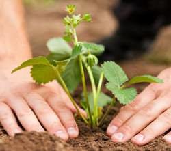 Весенняя обработка клубники включает в себя основные агротехнические мероприятия