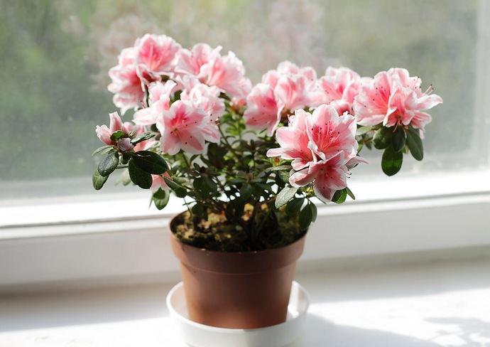 Рододендроны очень любят яркий и рассеянный солнечный свет, потому желательно поставить цветочный горшок с растением на юго-восточные или юго-западные окна