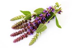 Шалфей — популярное и достаточно распространенное во многих странах лекарственное растение