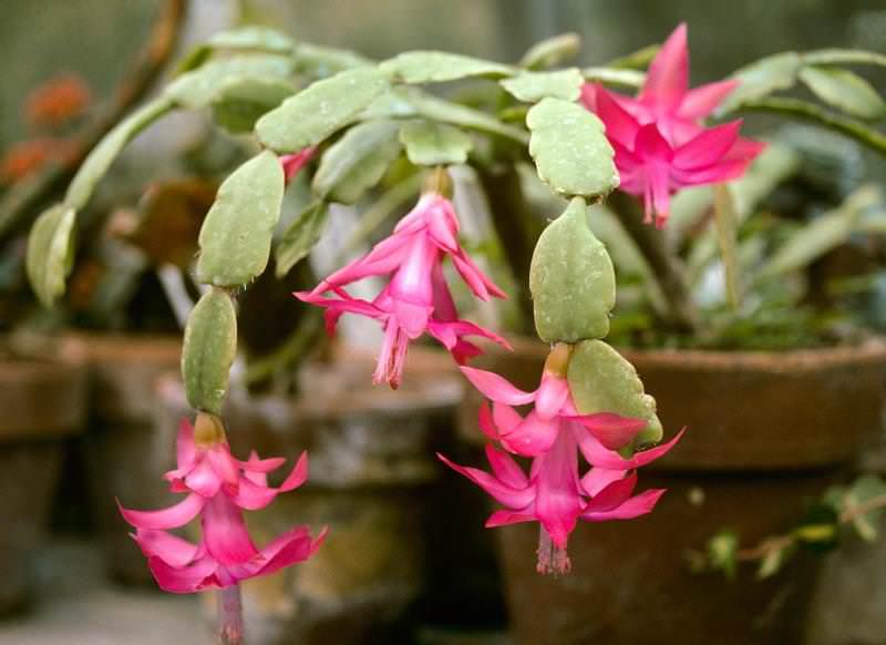 Растение родом из Бразилии, где его опыление происходит с помощью колибри