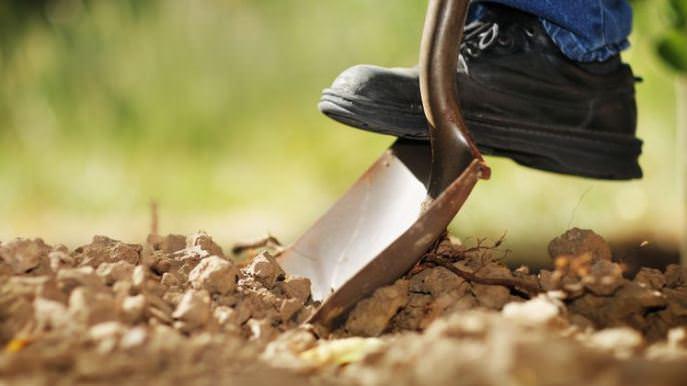 Перед тем как посадить тюльпаны осенью в открытый грунт, требуется сделать перекопку на глубину в полтора штыка лопаты