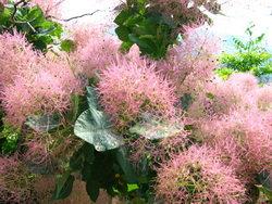 скумпия — выращивание, уход, размножение