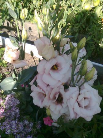 Красавицы эустомы очаровывают своими нежными цветами,похожими на розы