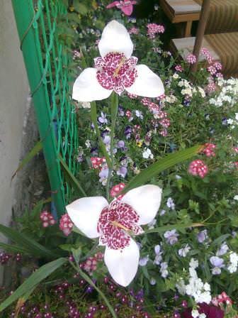 Цветок тигридии цветет только 10 часов,но на смену увядшему цветку распускается новый