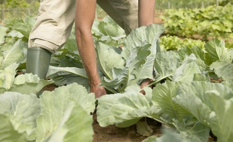Белокочанная капуста относится к любимым овощным культурам огородников и имеет так много сортов, что определиться с выбором порой довольно сложно