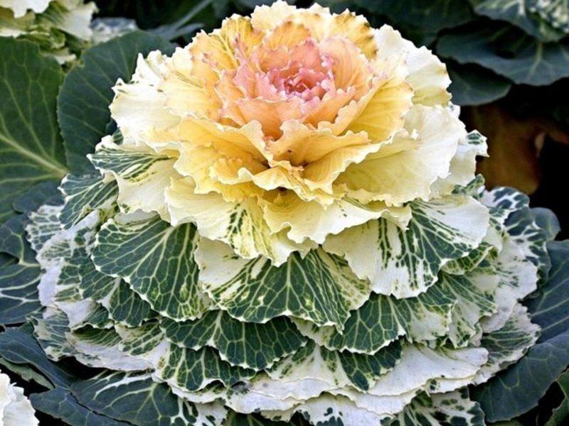 Сорта и виды декоративной капусты