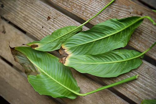 При несоблюдении технологии выращивания концы листьев у спатифиллума сохнут или чернеют