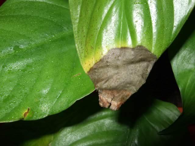 Основной и наиболее явной причиной, почему у спатифиллумов начинают сохнуть кончики листьев, является слишком низкий уровень влажности воздух