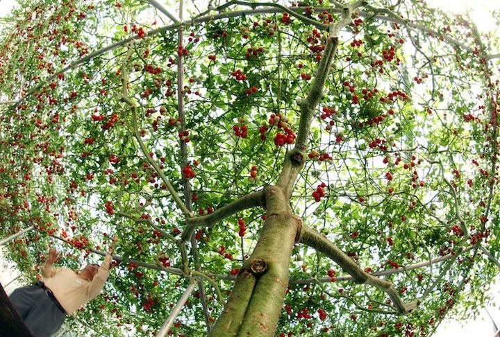 Название Спрут гибридному помидорному дереву дали неспроста