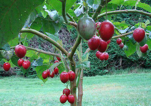 В окружающей нас природе существует и такое ее чудо, как помидорное дерево