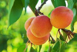 Вырастить абрикосовые саженцы из косточек достаточно просто