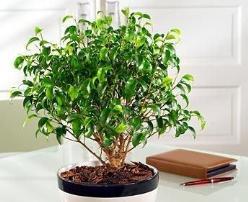 Фикус Бенджамина – популярное комнатное растение