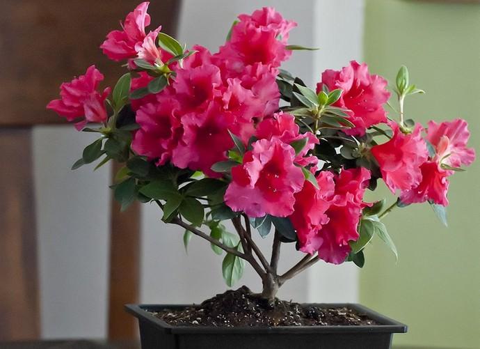 Выращивать азалию нужно в помещениях, где можно обеспечить цветущей культуре стабильный режим проветривания без сквозняков
