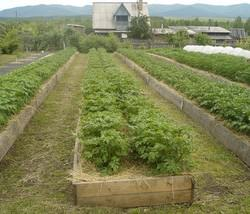 Посадка картофеля по методу Миттлайдера стала в последнее время очень популярной