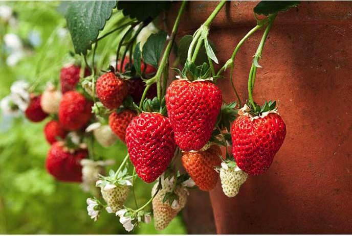 Клубника или садовая земляника голландская легко может быть выращена на балконах или лоджиях без потери качества ягод