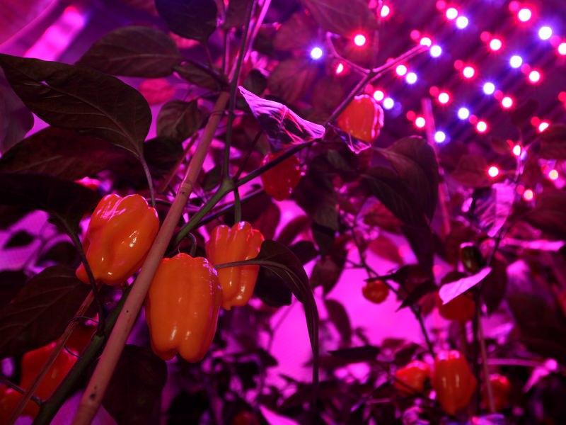 Красный цвет способствует развитию корней, вызывает цветение и дает плодоношение растениям