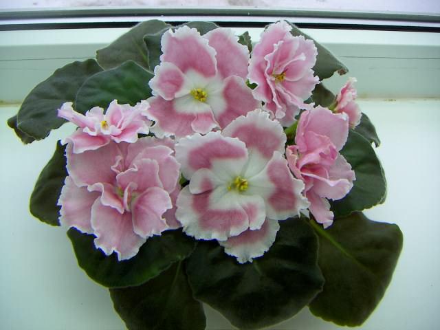 Амадеус Пинк отличается очень долгим цветением