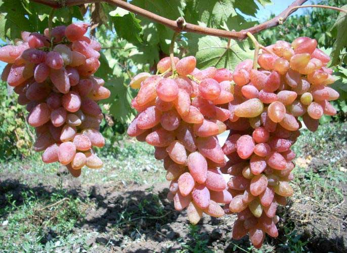 Виноград «Оригинал» способен сохранять ягоды до заморозков без потери вкусовых качеств