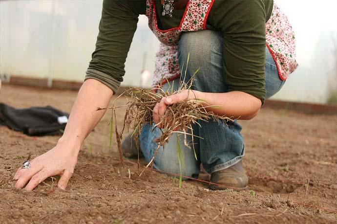 Перед обеззараживанием грунта осуществляется удаление всех растительных остатков