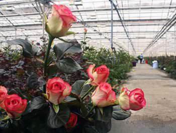 Выращивание цветов в теплице