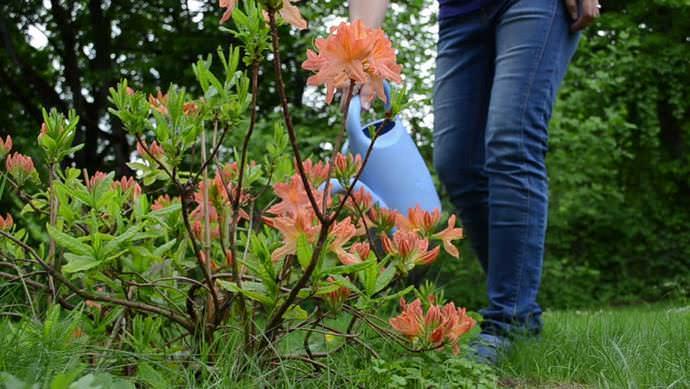 Рододендроны относятся к категории влаголюбивых растений, поэтому поливам отводится важная роль