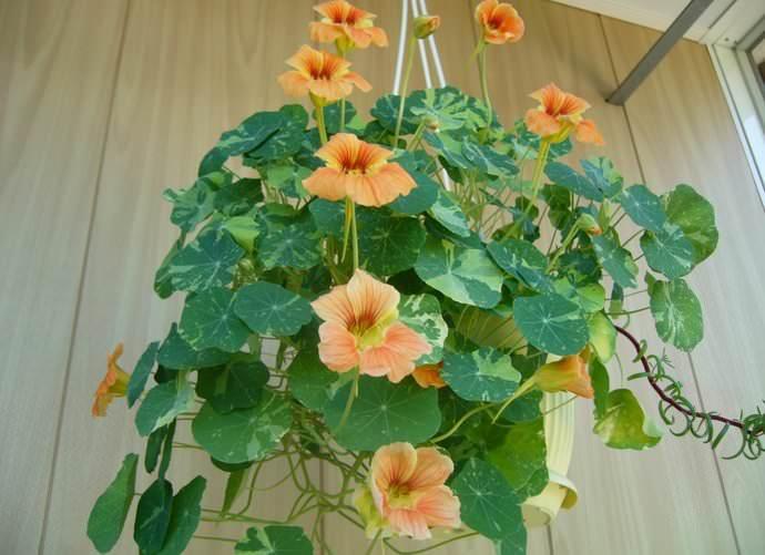 Настурция – растение рекомендовано для посадки в грунт с высоким содержанием гумуса