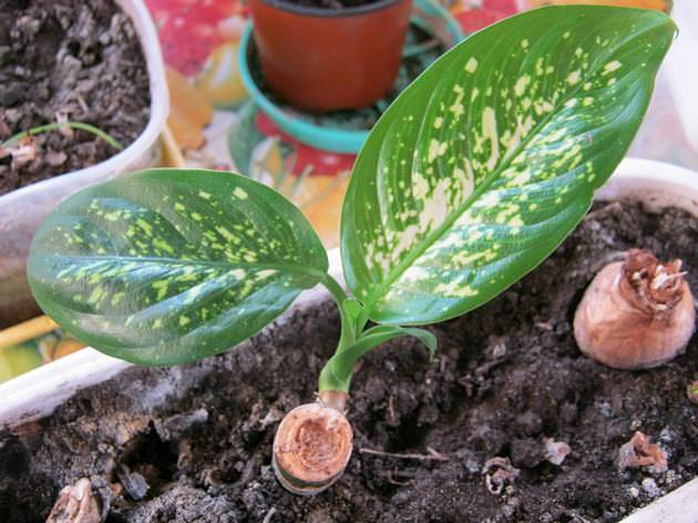 В первый год жизни диффенбахия должна выращиваться на западных или восточных окнах