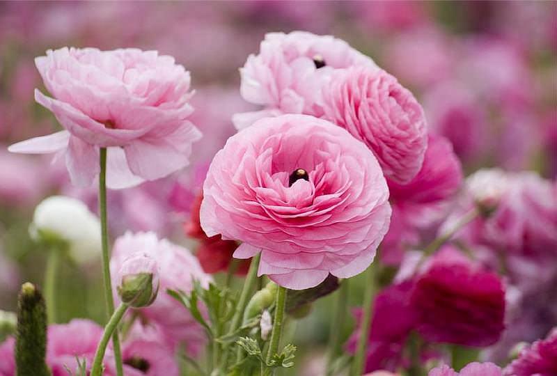 Анемона большинству цветоводов известна под названием ветреница