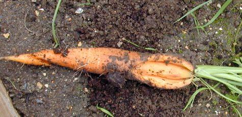 морковь может растрескаться по разным причинам