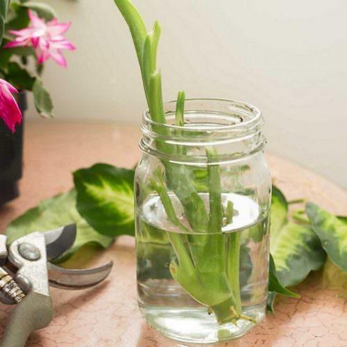Размножение диффенбахии в домашних условиях можно выполнить несколькими способами