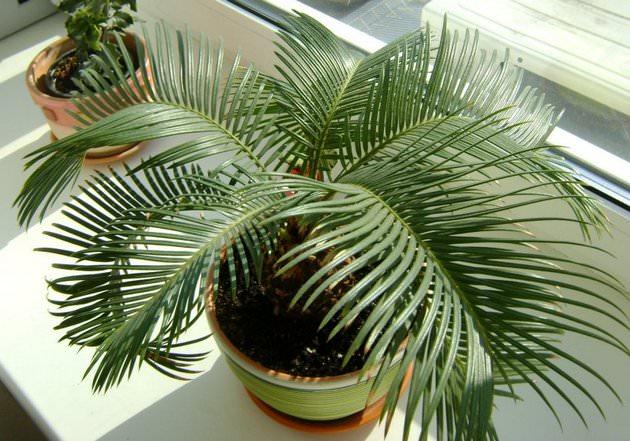 Растение неприхотливо к температурным колебаниям и может хорошо расти как в тёплом, так и в прохладном помещении