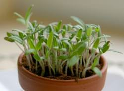 Рассада томатов даст в будущем хороший урожай только в том случае, если она выращена по всем правилам