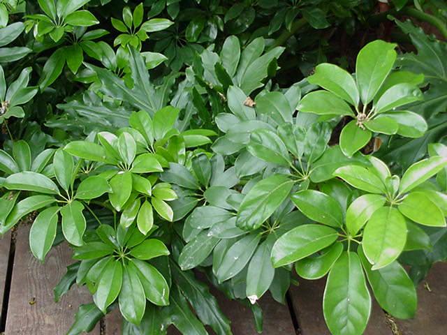 Шеффлера лучелистная – растение древовидной формы, с мощной стволовой частью и широким коричневатым основанием