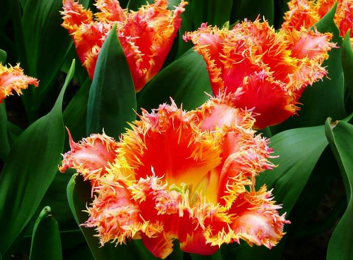 Допускается использование махровых ранних тюльпанов, рекомендованных к использованию в качестве горшечной культуры