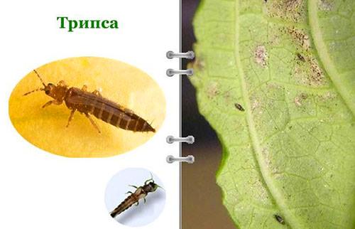 Распознать появление на адиантуме следы пребывания вредителей и болезней несложно, ведь их деятельность непременно скажется на состоянии листьев и стеблей