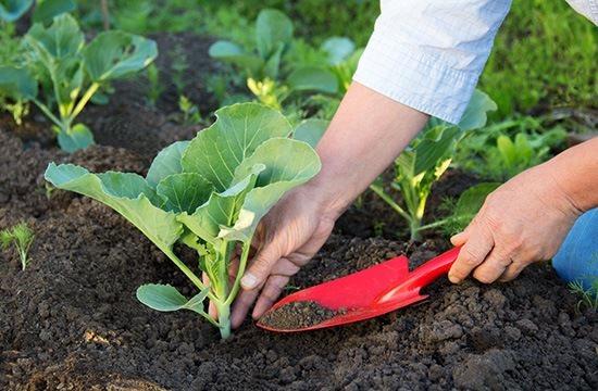 Агротехника выращивания капусты предполагает соблюдение севооборота