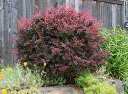 Посадка барбариса Тунберга весной позволяет получить высокодекоративное растение