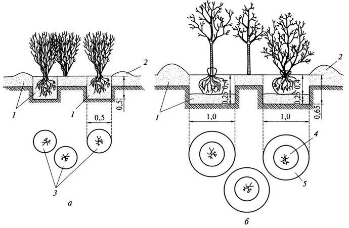 Сажать практически любые сорта и разновидности барбариса рекомендуется весной, с соблюдением основных правил технологии посадки