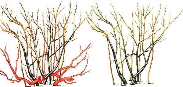 Обрезку барбариса следует производить поздней осенью или в ранний весенний период, еще до массового появления листьев на растении
