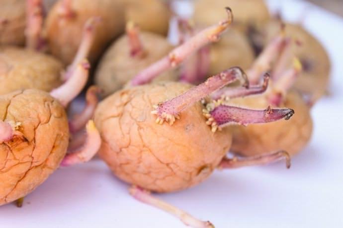 Рекомендуется сажать под солому только заранее пророщенные и обработанные клубни