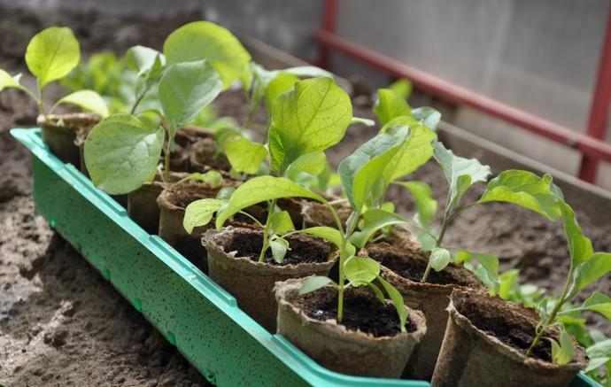 Примерно за пару недель до высаживания сеянцев на постоянное место выращивания, растения необходимо подвергнуть закаливающим процедурам